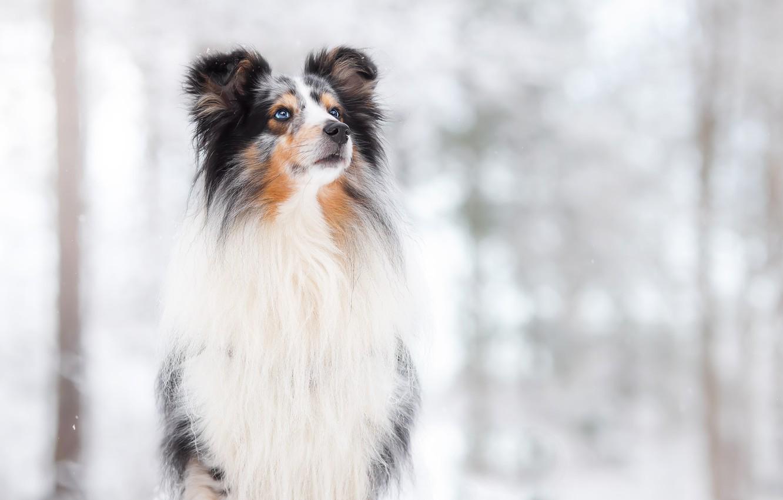 Фото обои снег, фон, собака, боке, Hugo