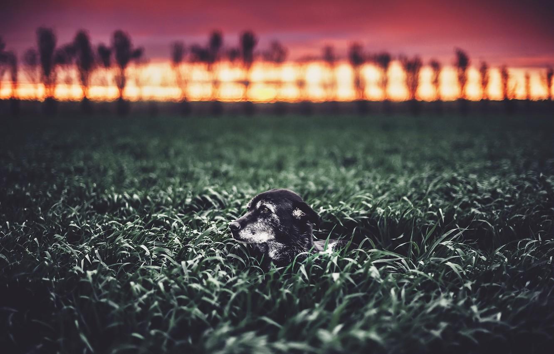 Фото обои поле, природа, собака
