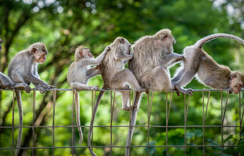 Фото обои обезьяны, семейка, весёлая