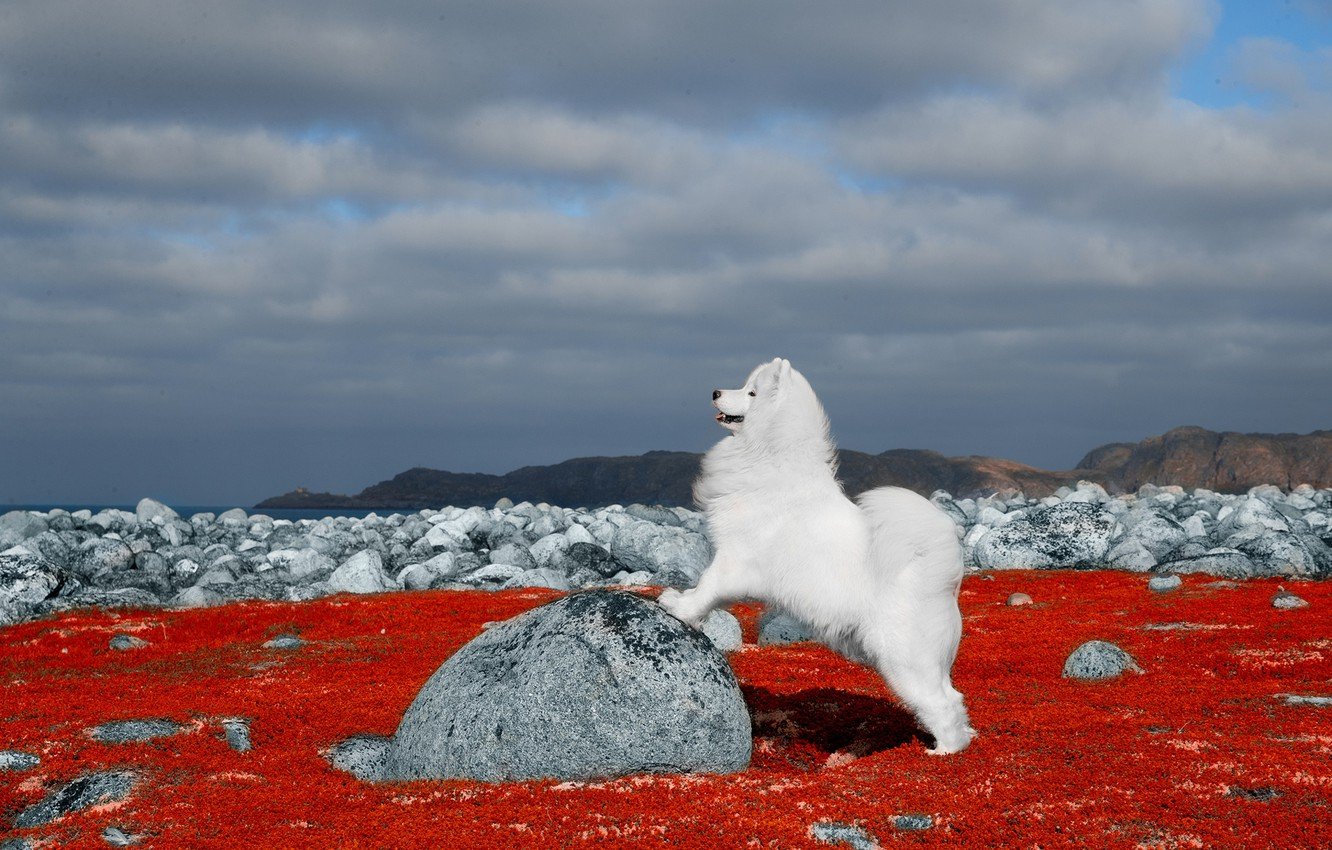 Фото обои природа, камни, собака, Самоед