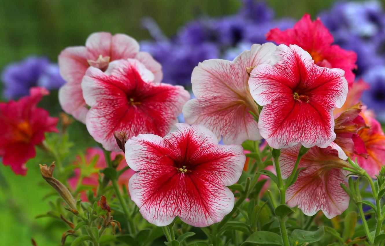 Фото обои лето, природа, красота, петуния, цеты, цетение