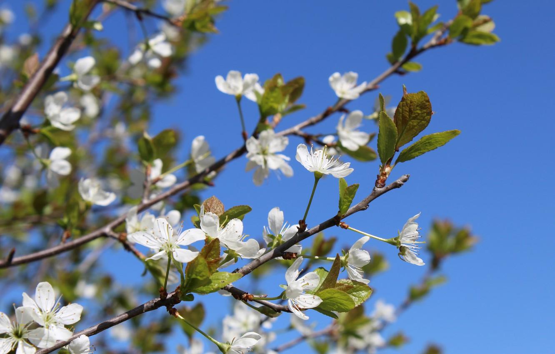 Фото обои весна, утро, цветущее дерево