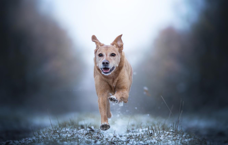 Фото обои снег, собака, бег, прогулка, боке