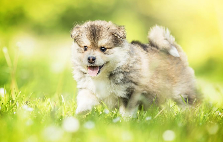 Фото обои трава, собака, малыш, щенок, боке, Финский лаппхунд