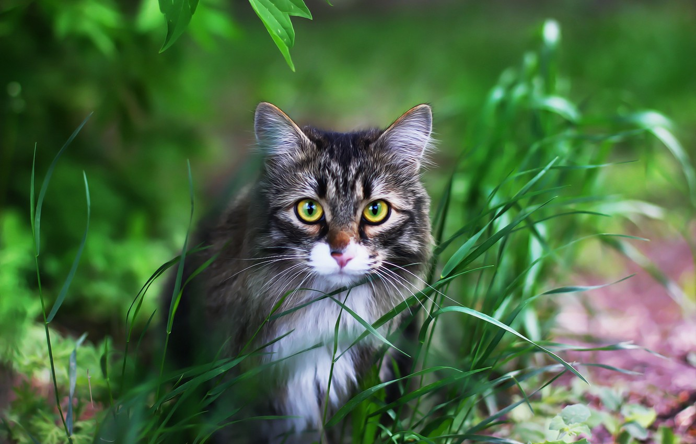 Фото обои кот, фон, мордашка, котейка