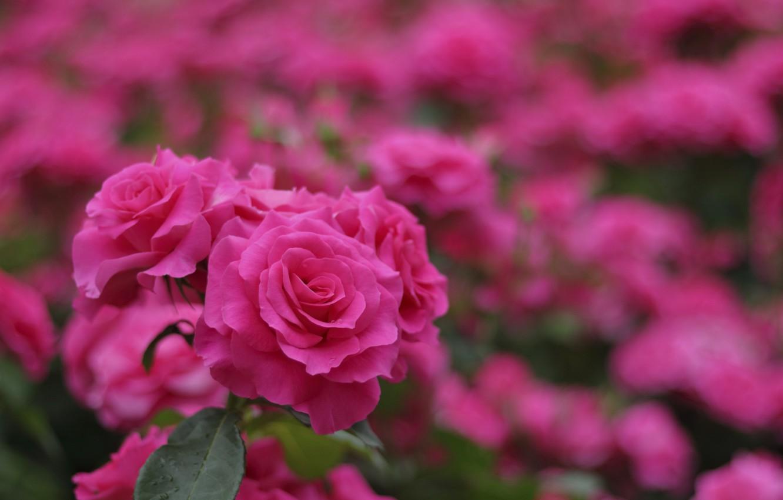 Фото обои розы, розовые, бутоны, цветение