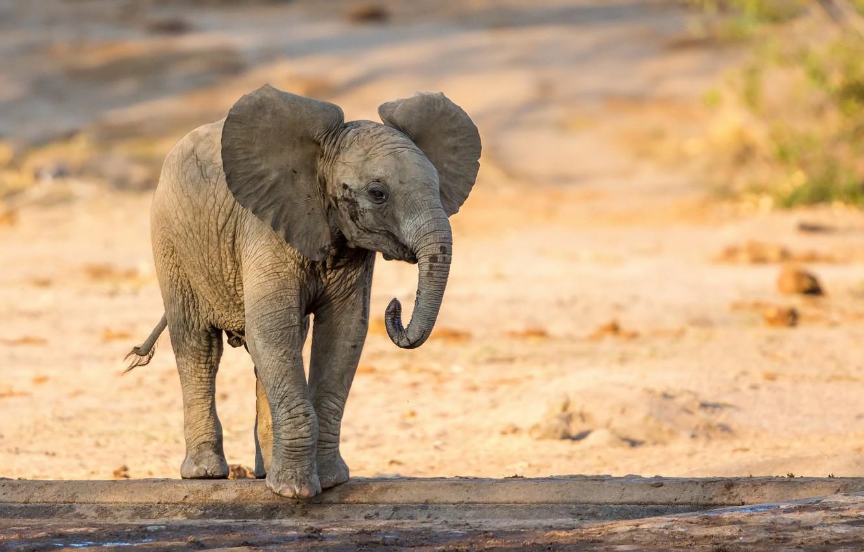 Фото обои природа, фон, слон