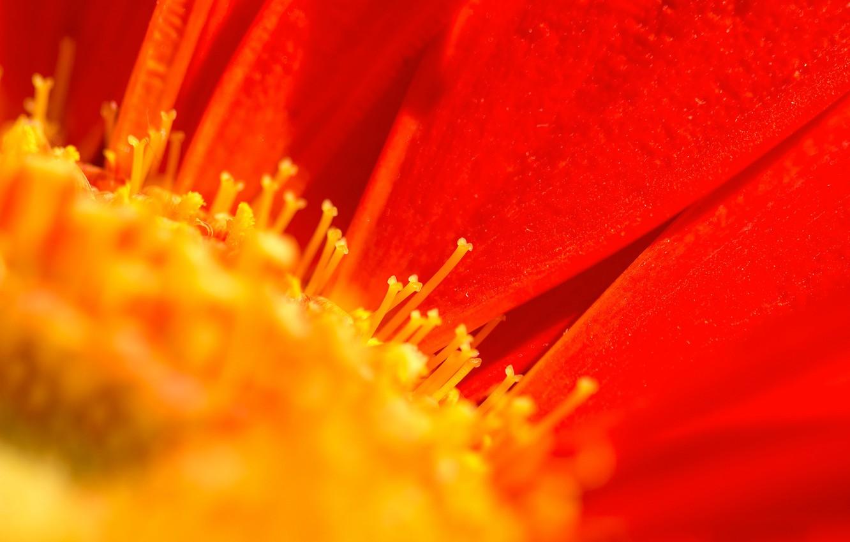 Фото обои цветок, природа, лепестки, тычинки