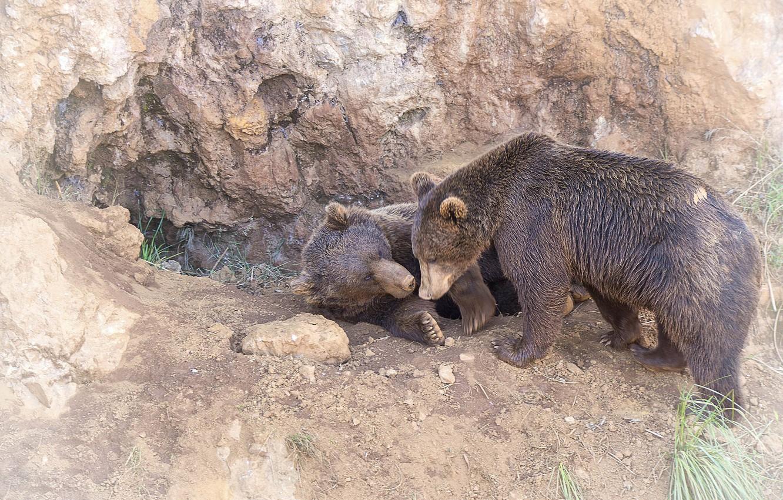 Фото обои хищники, медведи, пара