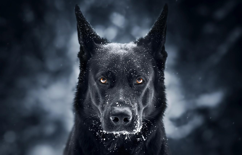 Фото обои взгляд, морда, снег, фон, собака, Немецкая овчарка