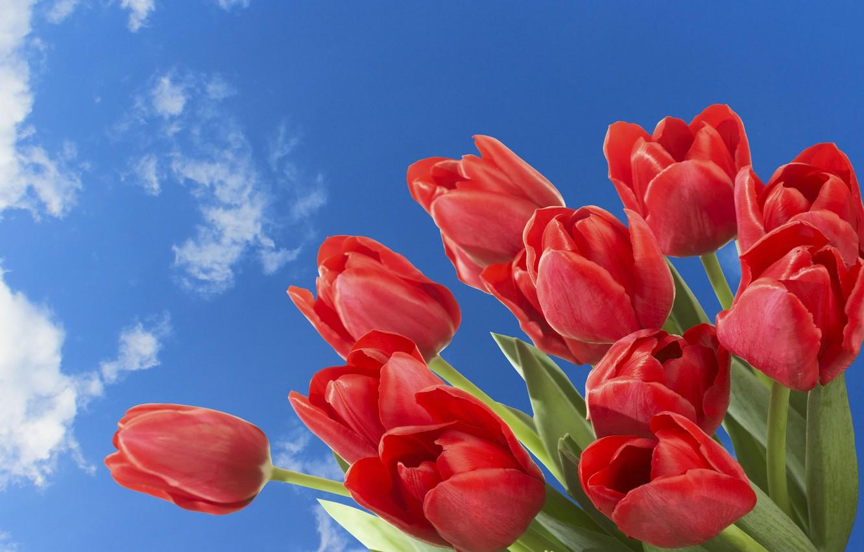 Картинки цветы тюльпан на рабочий стол
