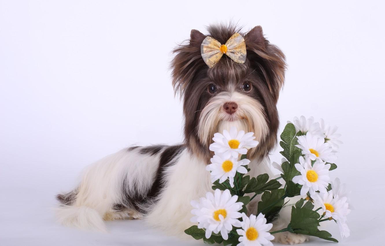 Фото обои цветы, бантик, порода, биро-йорк