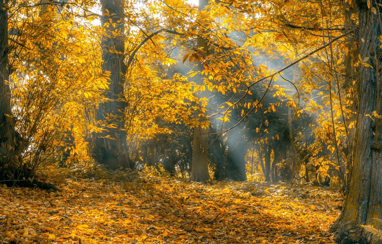 Фото обои осень, лес, листья, деревья, листва