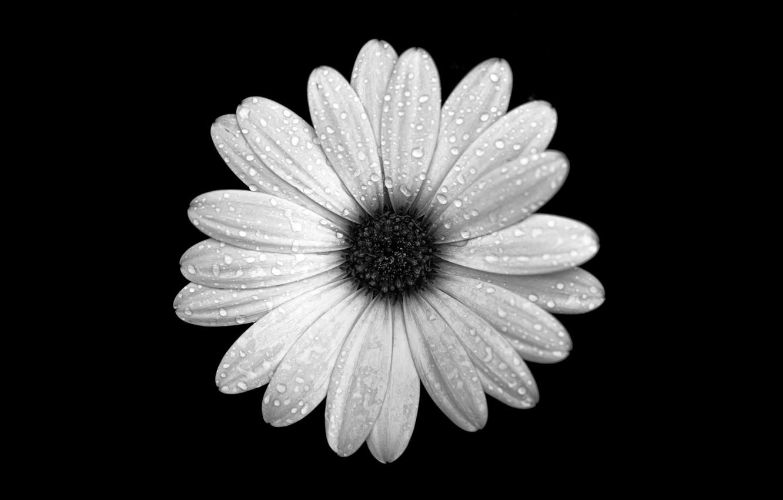 Фото обои цветок, капли, роса, фон, лепестки, Остеоспермум