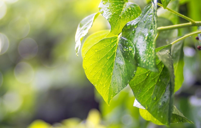 Фото обои лето, листья, капли, макро, свет, зелёные