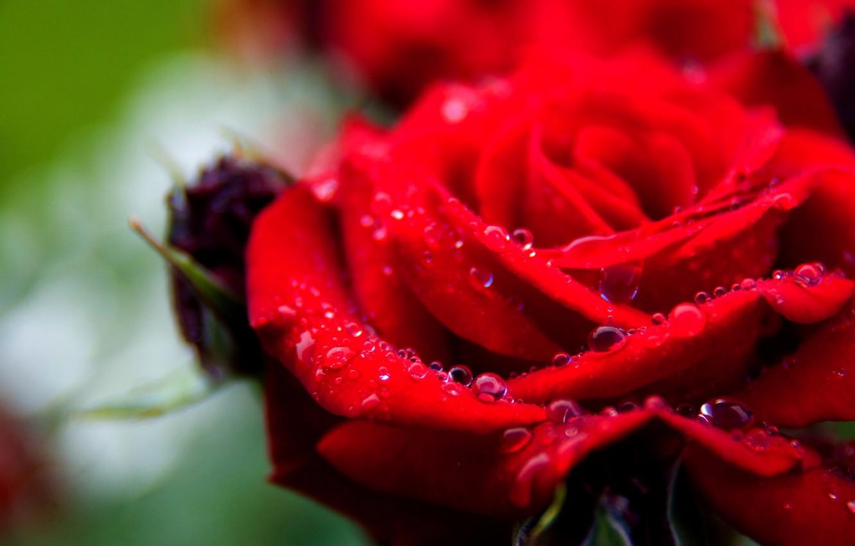 Фото обои капли, макро, роса, роза, лепестки