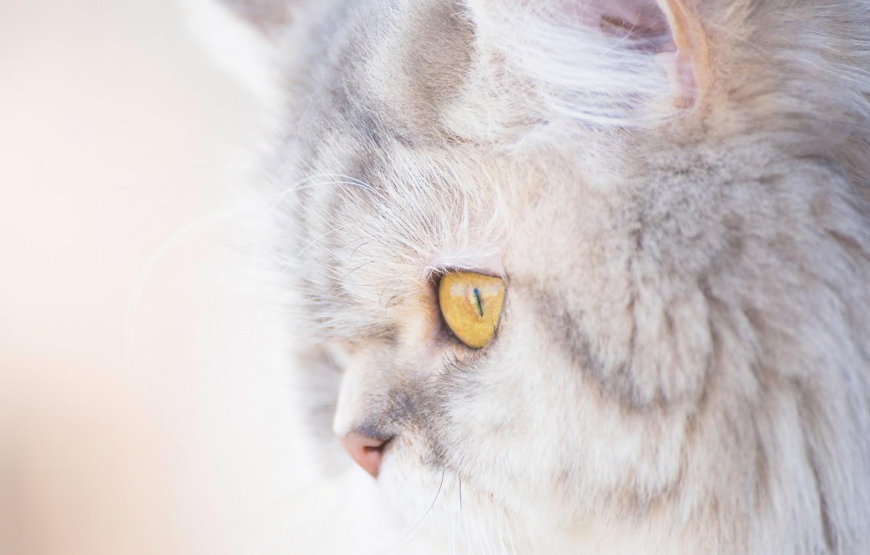 Фото обои кошка, кот, портрет, мордочка, профиль