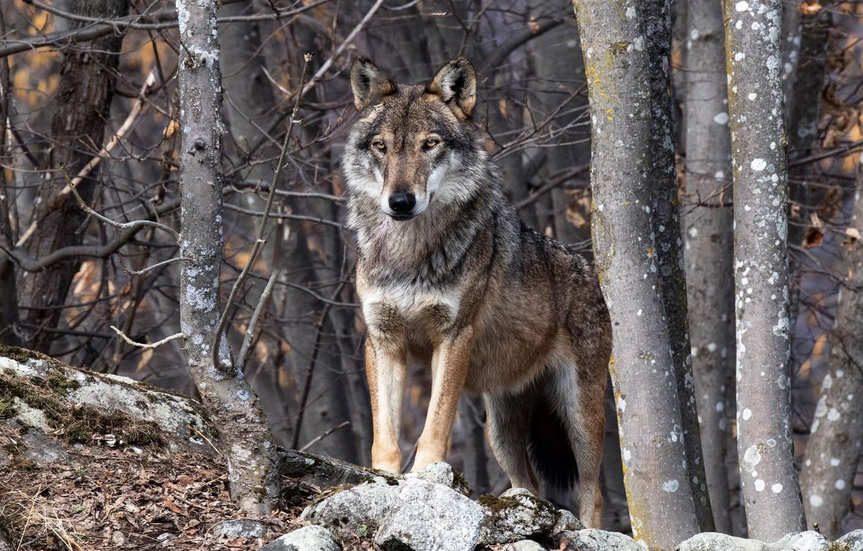 скинуть фотографию волка вам нужно будет