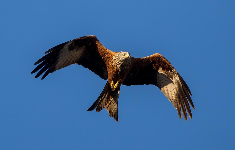 Фото обои птицы, крылья, хищник, полёт, коршун, красный коршун