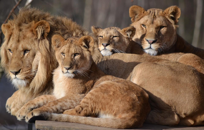 Фото обои лев, семья, львица, зоопарк, детеныши, большой кот, Сафари