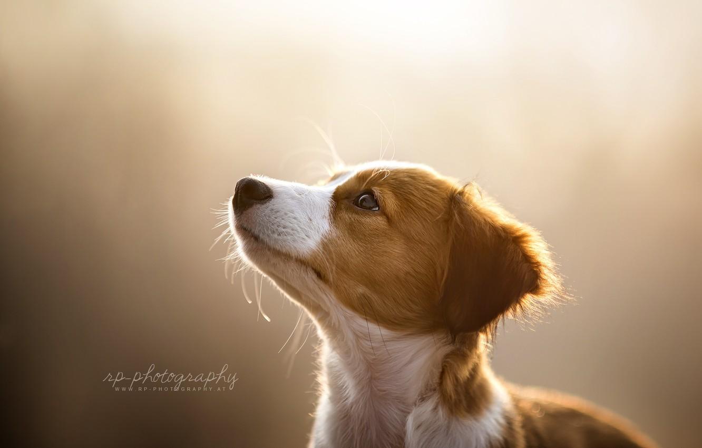 Фото обои взгляд, свет, собака
