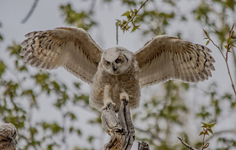Фото обои сова, птица, крылья, птенец, боке, Виргинский филин, молодняк