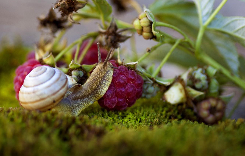 Фото обои макро, ягоды, малина, мох, улитка, ветка