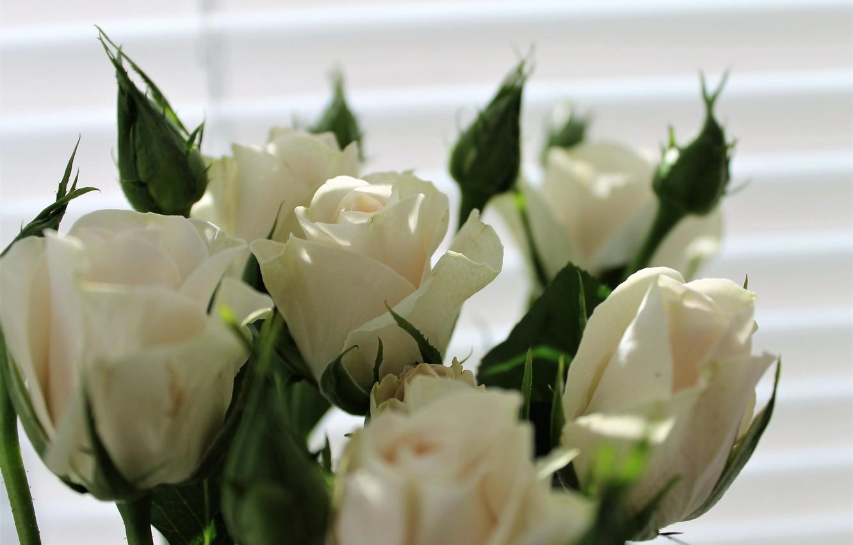 Фото обои цветы, розы, весна, белые розы, кустовые розы, кустовые розочки