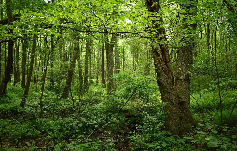 Фото обои лес, деревья, весна