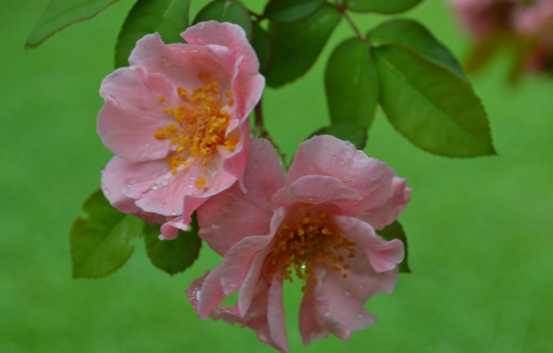 Фото обои капли, цветы, Роза, цветение