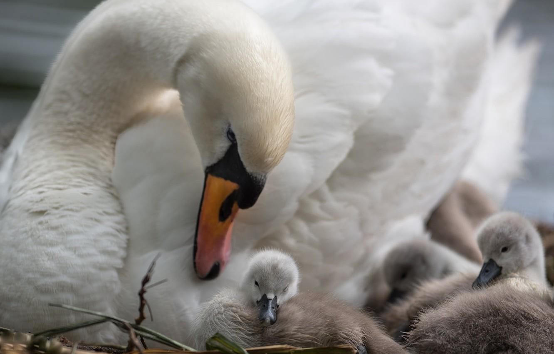 Фото обои птицы, дети, лебеди, мама
