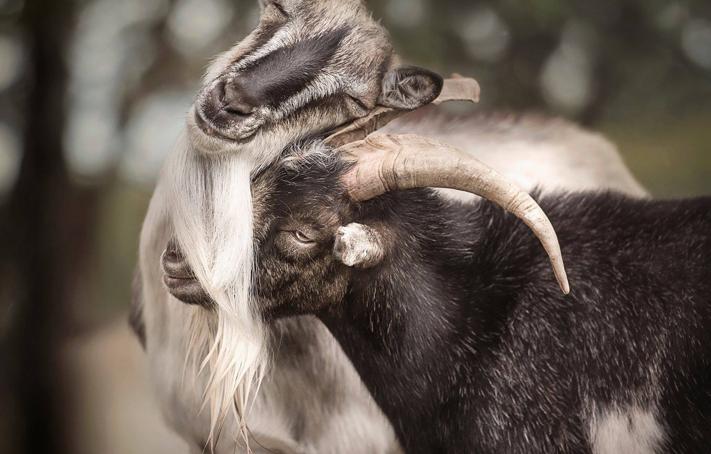 Картинки козлов и коз