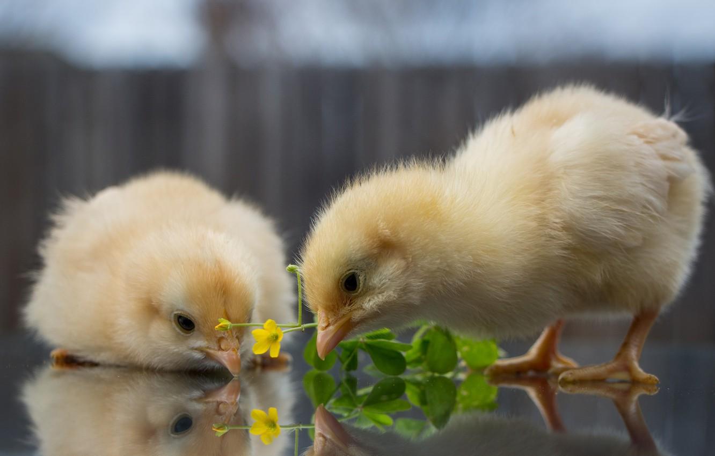 Красивые картинки цыпленка