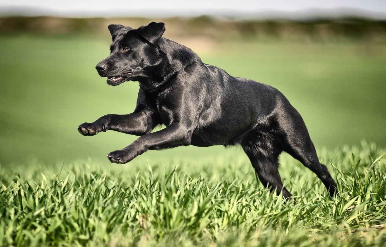 Фото обои трава, собака, бег, чёрная, Лабрадор-ретривер