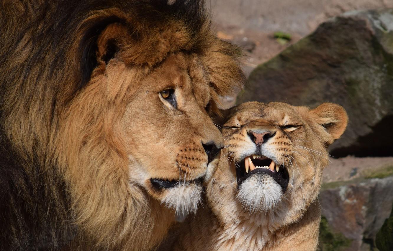 красивые картинки лев и львица вместе способ