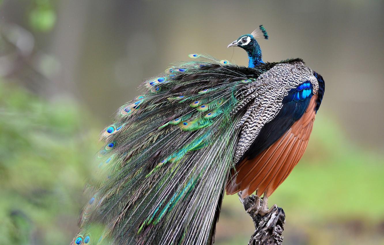 Фото обои птица, перья, хвост, павлин, боке