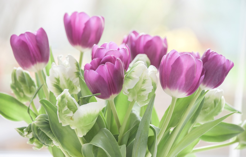 Фото обои листья, цветы, фон, букет, фиолетовые, тюльпаны, бутоны, боке, крупным планом