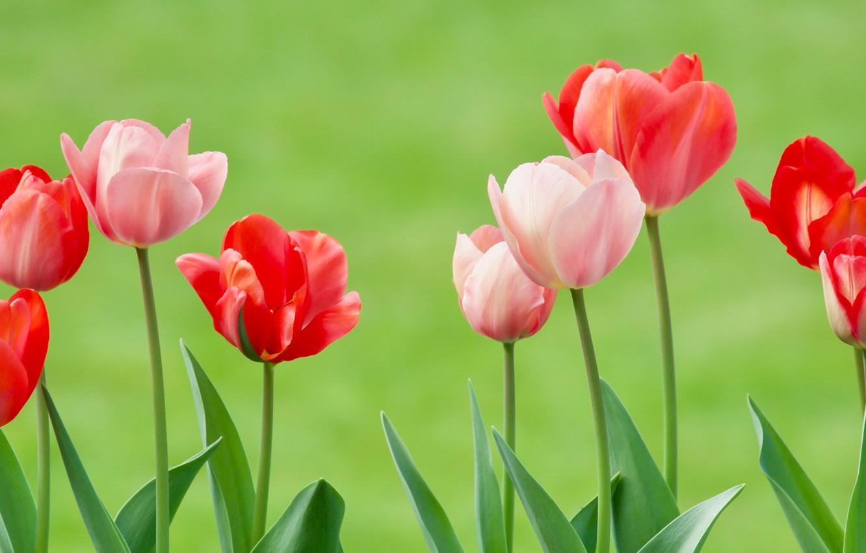 Фото обои фон, тюльпаны, бутоны