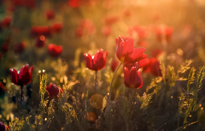 Фото обои свет, цветы, весна, боке, Калмыкия, дикие тюльпаны