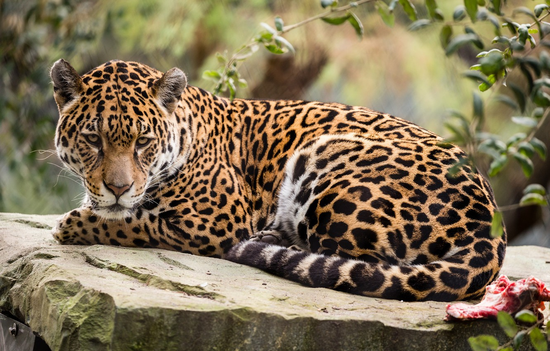 Фото обои природа, животное, отдых, ягуар