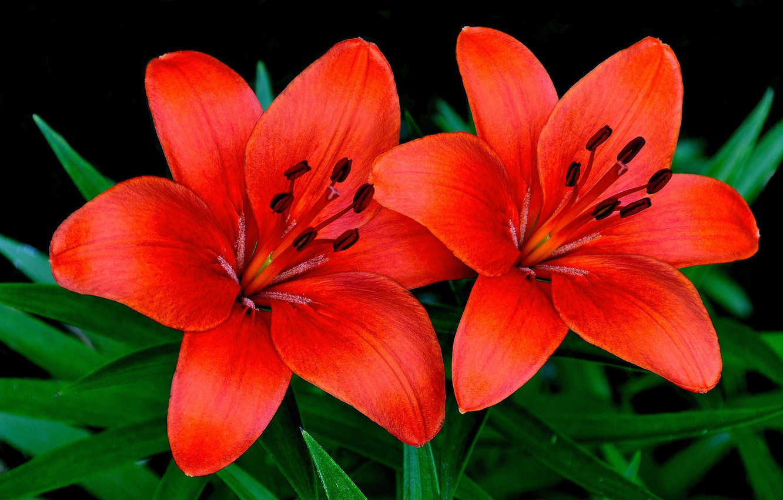 Фото обои макро, лилии, лепестки