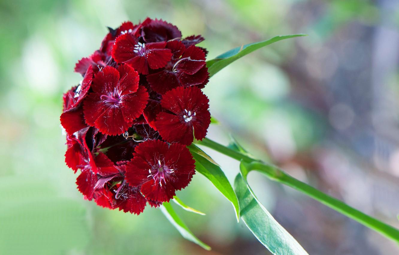 Фото обои макро, лепестки, соцветие, китайская гвоздика
