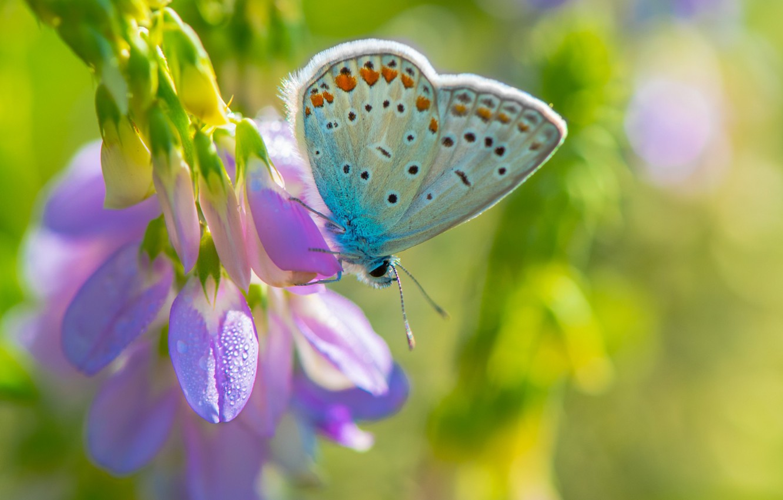 Фото обои цветок, фиолетовый, макро, фон, бабочка