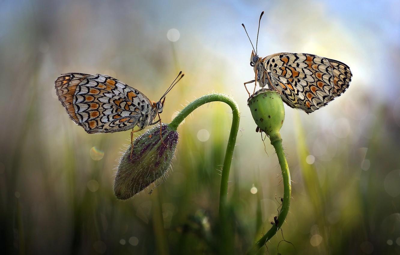 Фото обои цветок, трава, макро, бабочки, природа, бутон, пара, боке, Roberto Aldrovandi