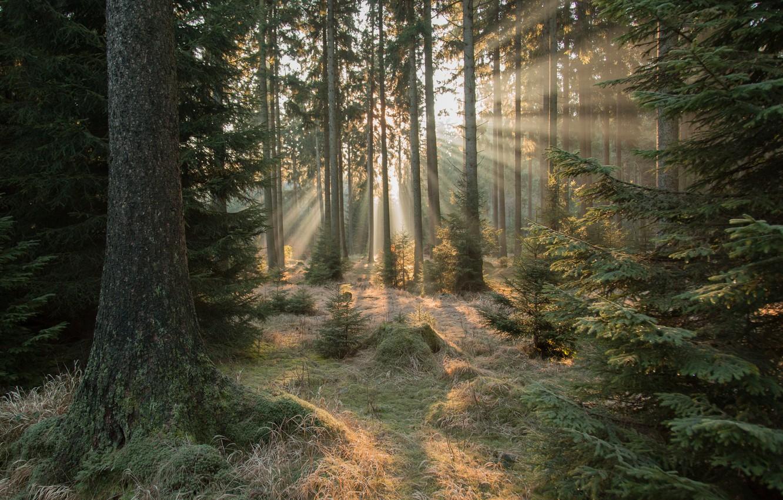 Фото обои лес, ёлки, солнечные лучи