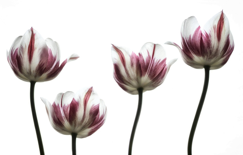 Фото обои тюльпан, весна, лепестки, стебель