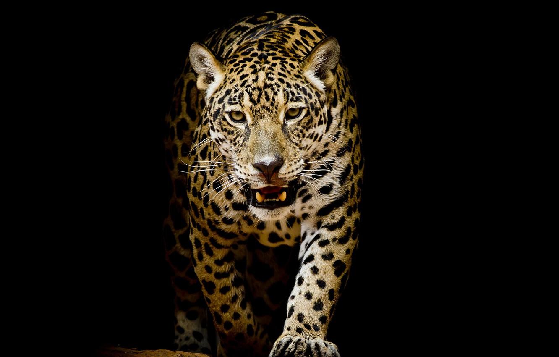 собор картинки леопарды с черным фоном отношение