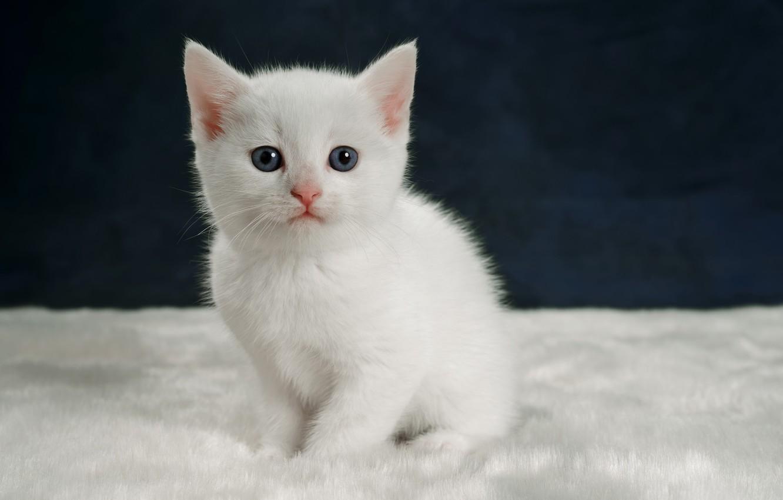 Фото белого котенка с голубыми глазами маленького белого цвета