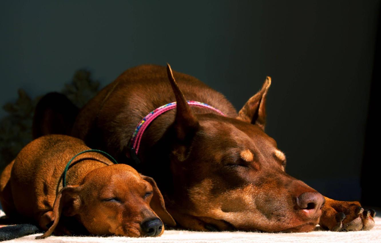 Фото обои такса, коричневые, милашки, спят, доберман