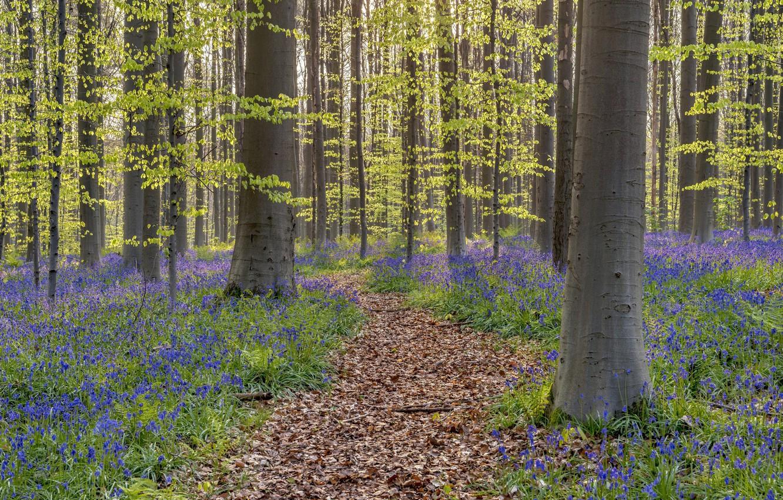 Фото обои лес, весна, Бельгия, колокольчики, тропинка, Walloon Brabant